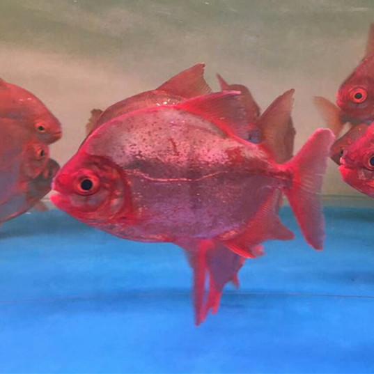 大兴安岭玫瑰银版鱼